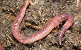 Красные калифорнийские черви оптом с доставкой по РФ