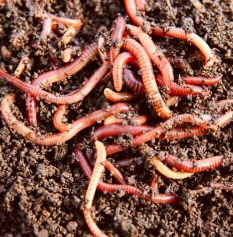 Красные калифорнийские черви