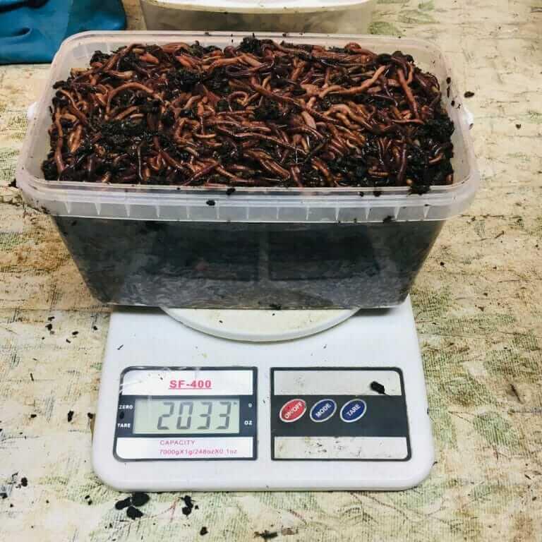 Маточник красного калифорнийского червя