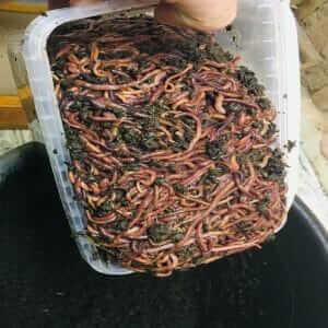 Маточник калифорнийского червя