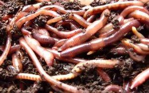 Калифорнийский червь